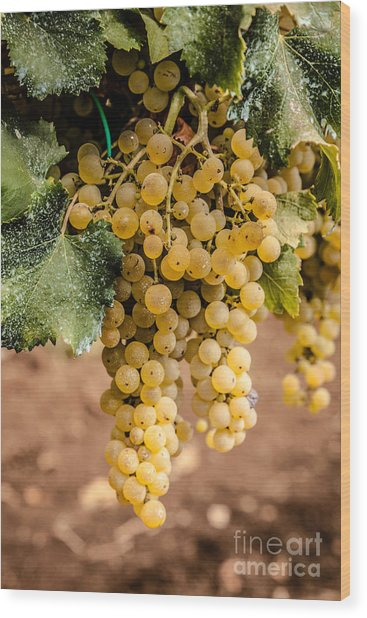 Close Up Of Ripe Wine Grapes On The Vine Ready For Harvesting Wood Print