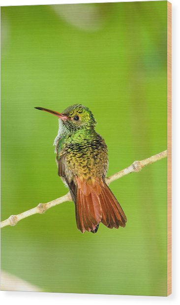Close-up Of Rufous-tailed Hummingbird Wood Print