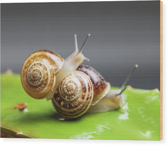 Close Up Of Two Snails Matting Wood Print by Ozgur Donmaz