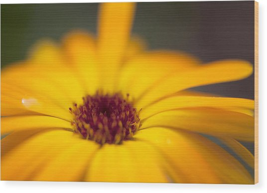 Close-up Of Yellow Flower Wood Print by Paulien Tabak / EyeEm