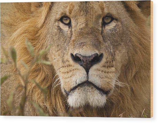 Close-up Portrait Of A Majestic Lion's Solemn Face Wood Print by WLDavies
