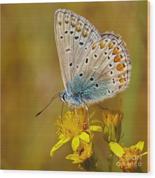 Closeup Of A Common Blue Butterfly Wood Print