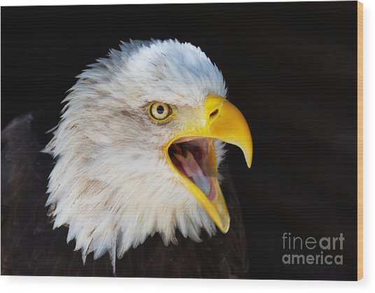Closeup Portrait Of A Screaming American Bald Eagle Wood Print
