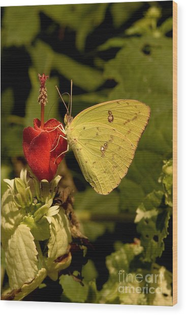 Cloudless Sulfur Butterfly Wood Print