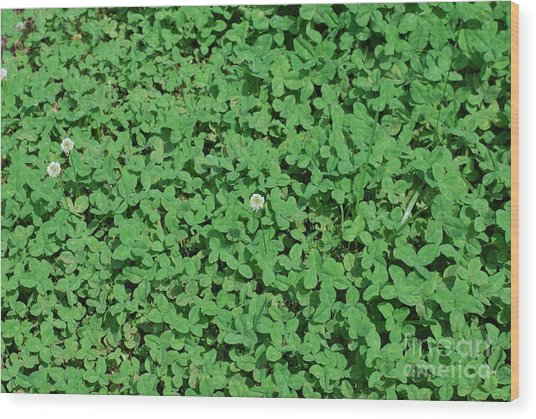 Clover Wood Print by Gayle Melges