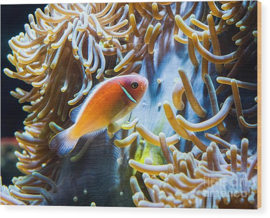 Clown Fish - Anemonefish Swimming Along A Large Anemone Amphiprion Wood Print