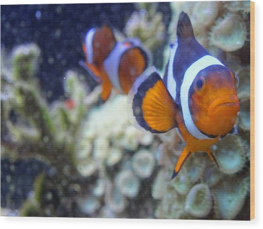 Clown Fish Couple Wood Print