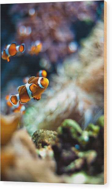 Clownfish  Wood Print