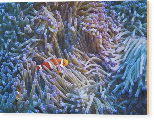 Clownfishes Wood Print