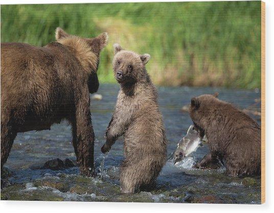Coastal Brown Bear Family Wood Print by Justinreznick