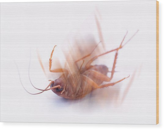 Cockroach Wood Print by Gustoimages/science Photo Library