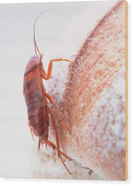 Cockroach On Bread Wood Print by Gustoimages/science Photo Library