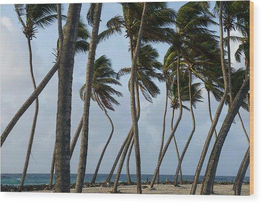 Coconut Palm (cocos Nucifera Wood Print by Pete Oxford