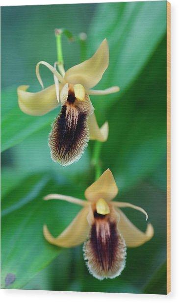 Coelogyne Fuliginosa Wood Print by Sam K Tran/science Photo Library