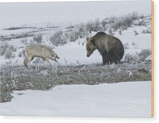 Confrontation In Hayden Valley Wood Print by Bob Dowling