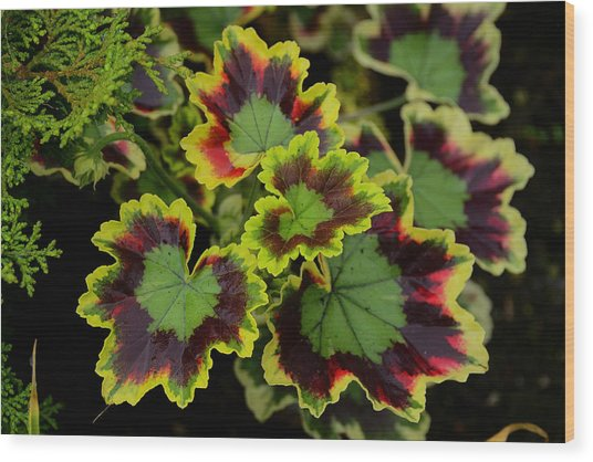 Coleus Wood Print by Richard Henne