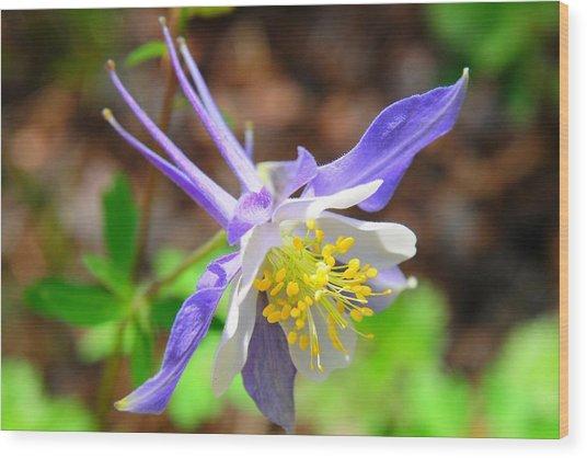 Colorado Blue Columbine Flower Wood Print