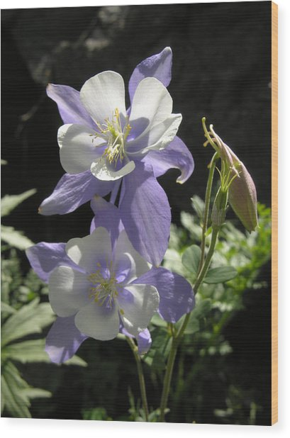 Colorado Blue Columbine Wood Print