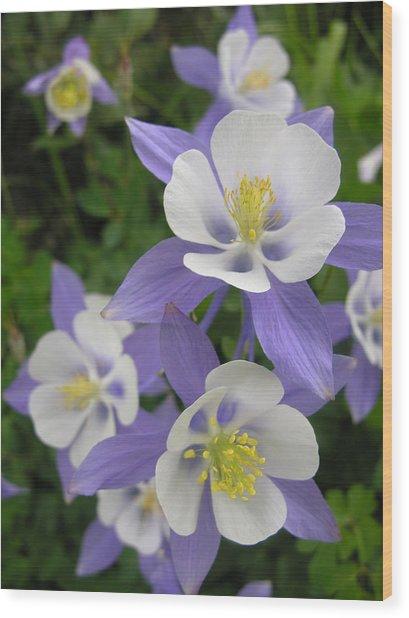 Colorado Blue Columbines Wood Print