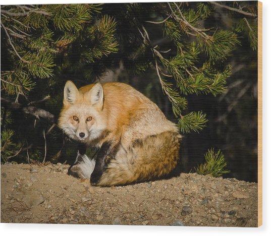 Colorado Red Fox Wood Print