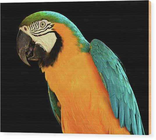 Colorful Macaw Bird Wood Print by Jeff R Clow