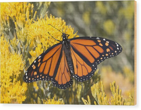 Colorful Monarch Butterfly Denver Colorado Wood Print by Milehightraveler