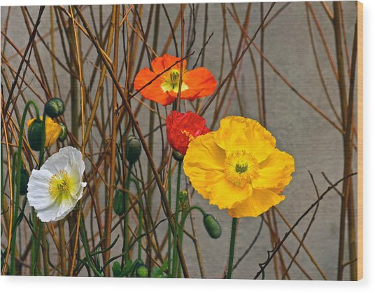 Colorful Poppies And White Willow Stems Wood Print