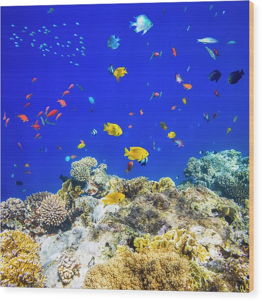 Colorful Tropical Fish On Red Sea Wood Print by Cinoby
