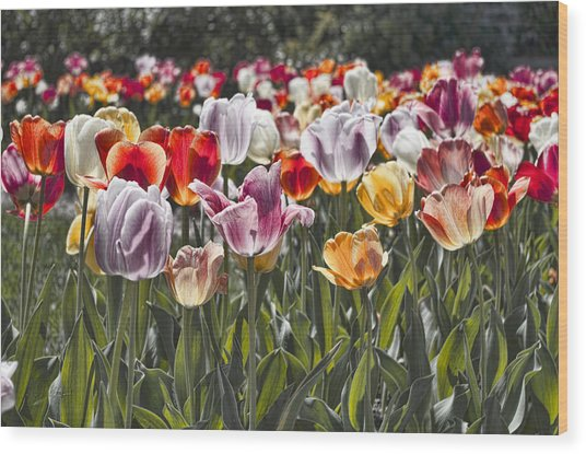 Colorful Tulips In The Sun Wood Print