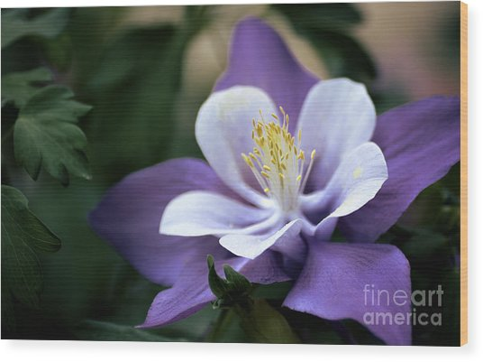 Columbine In Lavender Wood Print by Julie Palencia
