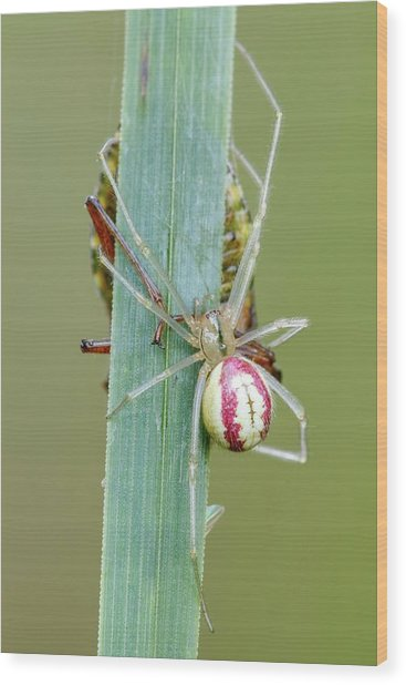Comb Footed Spider Wood Print by Heath Mcdonald