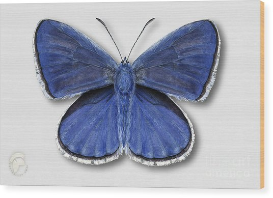 Common Blue Butterfly - Polyommatus Icarus Butterfly Naturalistic Painting - Nettersheim Eifel Wood Print