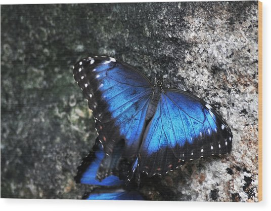 Common Blue Morpho Wood Print by Ginger Harris