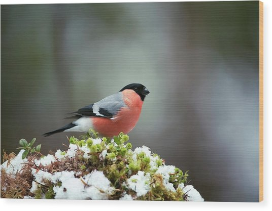 Common Bullfinch Wood Print by Dr P. Marazzi/science Photo Library