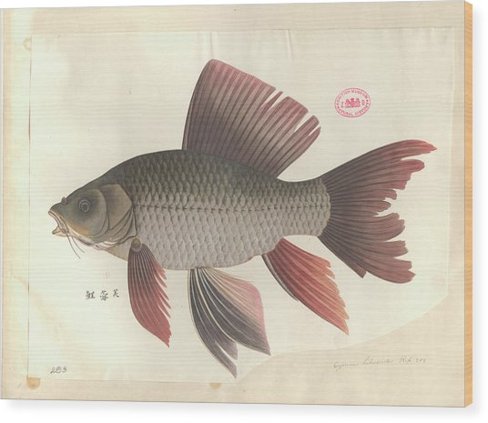 Common Carp Wood Print by Natural History Museum, London