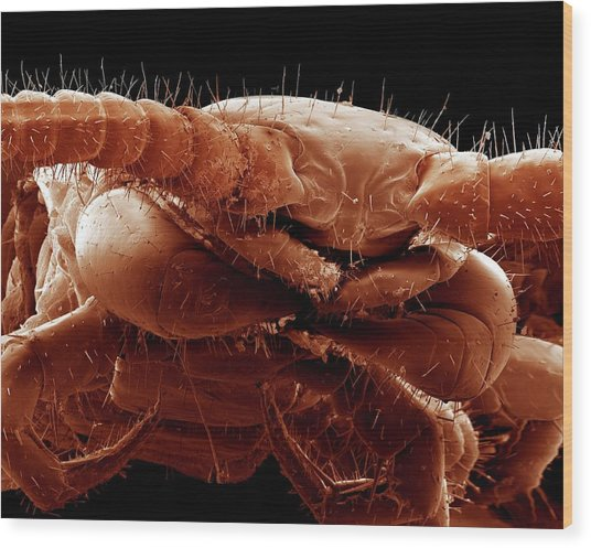 Common Centipede Head Wood Print by Clouds Hill Imaging Ltd