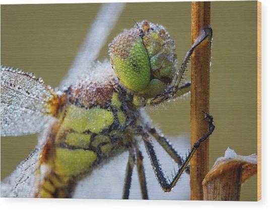 Common Darter Dragonfly Wood Print by Heath Mcdonald