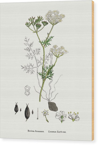 Common Earth Nut Plant Scientific Wood Print by Mashuk