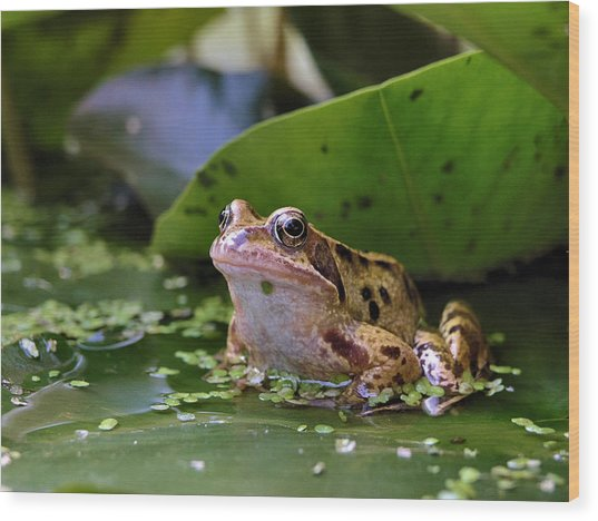 Common Frog Wood Print