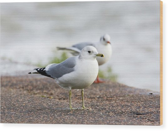 Common Gull And Black-headed Gull Wood Print by John Devries/science Photo Library