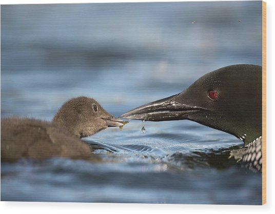 Common Loon Feeding Chick Wood Print