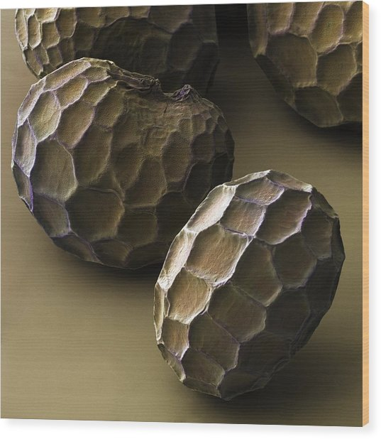 Common Poppy Seeds (papaver Rhoeas) Sem Wood Print by Power And Syred