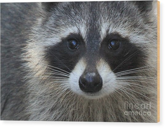 Common Raccoon Wood Print