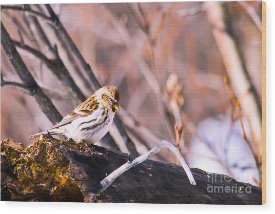 Common Redpoll Female Wood Print by Chris Heitstuman