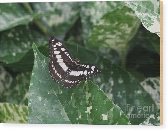 Common Sergeant Butterfly Wood Print