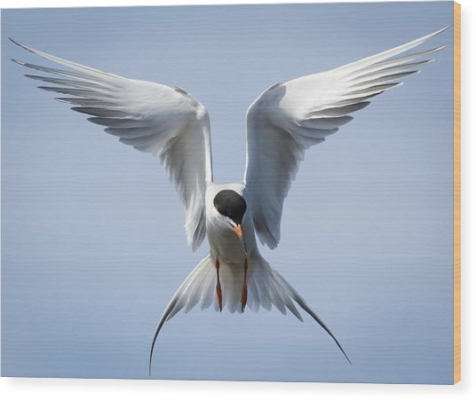 Common Tern Wood Print