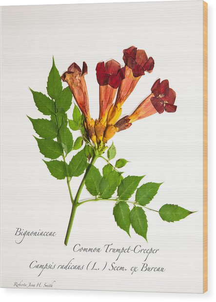 Common Trumpet-creeper 1 Wood Print