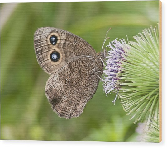 Common Wood-nymph On Thistle Wood Print