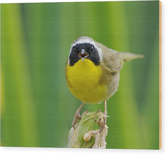 Common Yellowthroat Male Wood Print