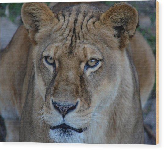 Concerned Lioness Wood Print